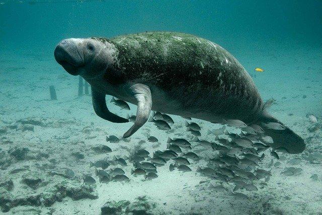 dugong photo
